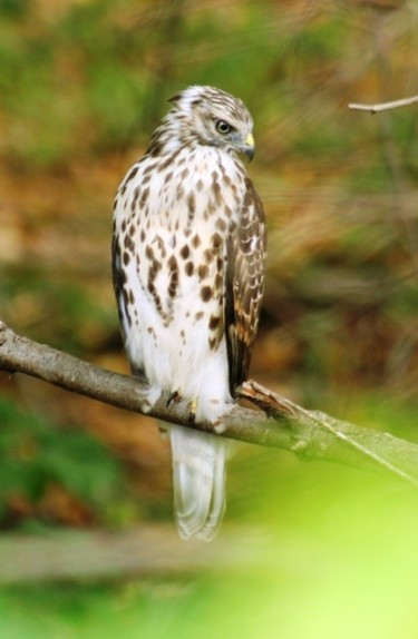 Young Hawk at Lawson's Farm