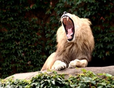 Open Wide - Lion's Yawn