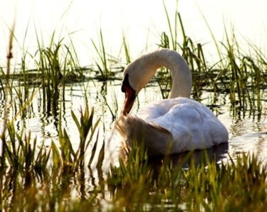 swan in the causeway